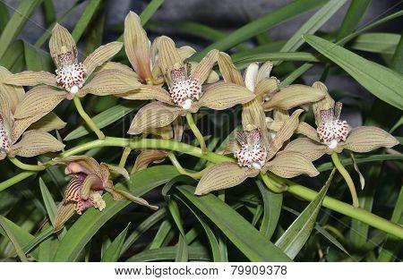 Cymbidium Verulam Orchid