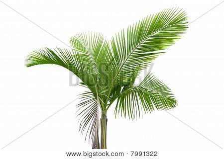 Palm Tree On White