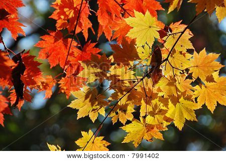 Colored Maple Leaves, Autumn