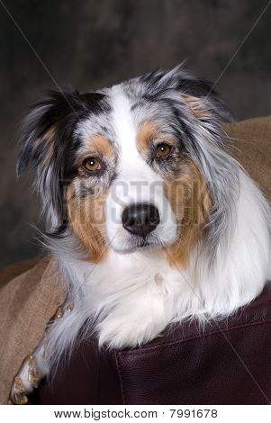 Headshot Of Beautiful Australian Shepherd