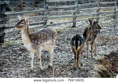 Three Small Deers