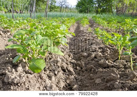 Growing Bio Potatoes In The Northern Bulgaria In The Summer