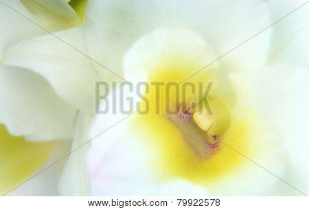 White Dendrobium Orchid Closeup