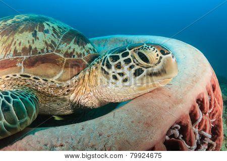 Green Turtle Resting on a Sponge