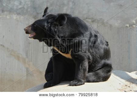 Asian black bear (Ursus thibetanus).
