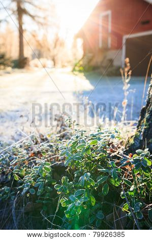 Sun shining over farm yard to frozen lingonberry twig