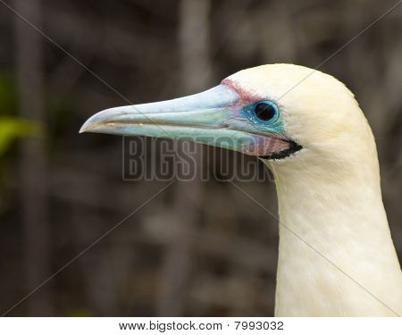 Close Up Of Red Footed Booby