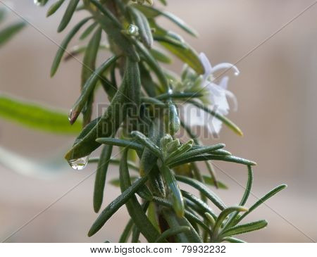Rosemary blossom with water drops