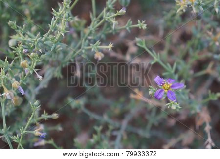 Fagonia Arabica blossom