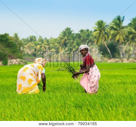 Thanjavour, India - February 13: Rural Women Planting Rice Sprouts At Farm Field. India, Tamil Nadu,