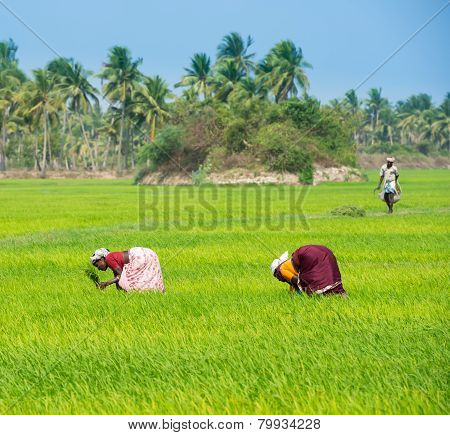Thanjavour, India - February 13: An Unidentified The Indian Rural Women  Planting Rice Sprouts And W