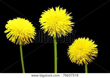 Flower of dandelion isolated on a black background