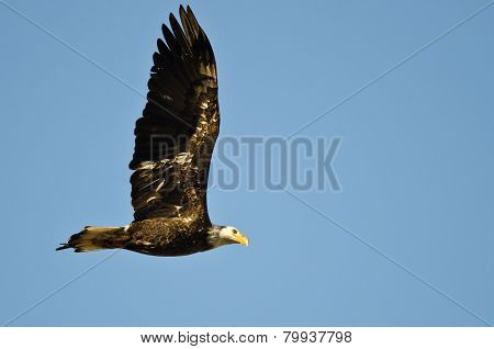 Immature Bald Eagle Flying In A Blue Sky