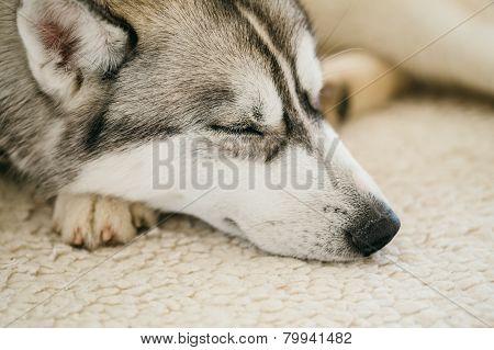 Gray Adult Siberian Husky Dog Sibirsky husky