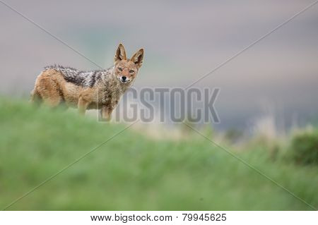 Shy Black Backed Jackal Scavenging For Food On The Side Of Mountain