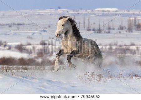 White horse run  in winter field