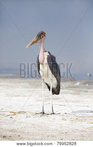 Marabou stork in Africa