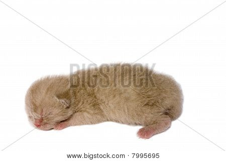 Lilac New Born Kitten On White Background
