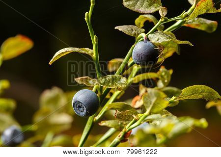 Blueberries and spider