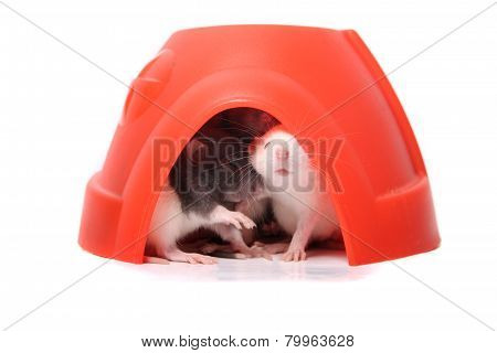 Baby Rats In A Plastic Dome