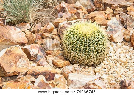 Golden Ball Barrel Cactus