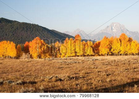 Fire Color Aspens In Grand Teton