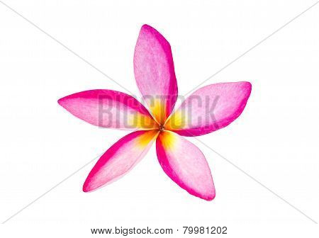 Frangipani Tropical Flowers On White Background