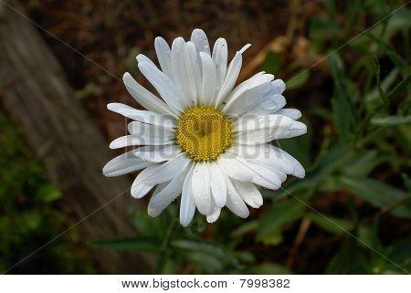 Lawn Daisy -- Bellis Perennis