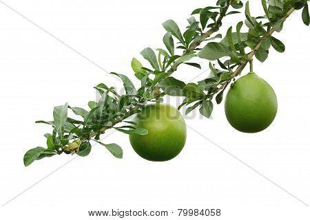 Crescentia Cujete Fruit