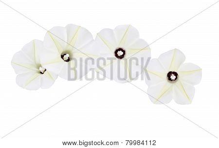 Ipomoea Obscura Flower