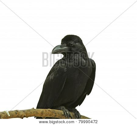 Black Bird (large-billed Crow) Isolated On White Background