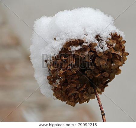 Dry Hydrangea Flower  During Harsh Winter