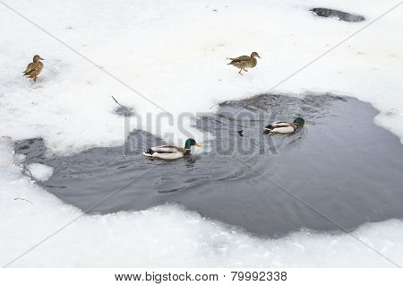Wild Ducks In Water Of Frozen River