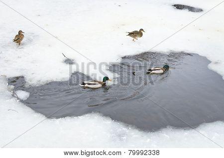 Wild Ducks In Water Of Frozen River