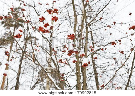 Frozen Red Rowan Berry On Tree