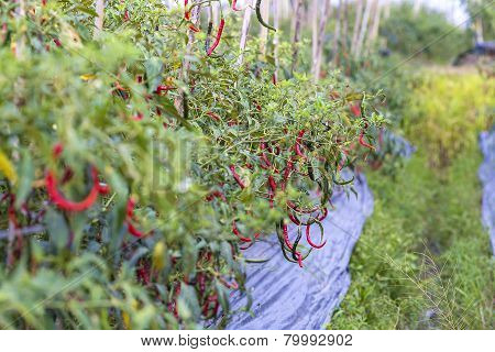 Fresh red chillies