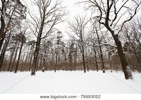 Snow Covered Oaks And Pine Trees On Edge Of Forest