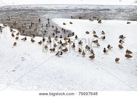Flock Of Ducks On Ice In Frozen Lake