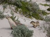 foto of sea lion  - Australian sea lion  - JPG