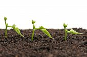 picture of pea  - Sprouted yellow peas on organic soil with young plant over white background - JPG