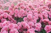 pic of begonias  - group beautiful pink begonia in the garden - JPG