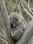 image of eucalyptus trees  - Koala (Phascolarctos cinereus) in an Eucalyptus tree in Australia ** Note: Soft Focus at 100%, best at smaller sizes - JPG