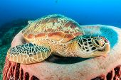 stock photo of green turtle  - Large Green Turtle resting in a barrel sponge - JPG