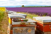 pic of bee-hive  - Bee hives on lavender fields near Valensole Provence - JPG