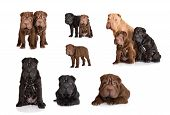picture of shar pei  - shar pei puppies photos united in one set - JPG