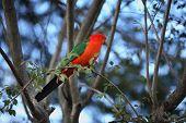 stock photo of king parrot  - Australian King Parrot  - JPG