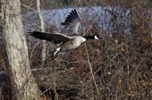 picture of canada goose  - A Lone Canada Goose Flying Over a River - JPG