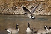image of canada goose  - Canada Goose Taking Off From a River - JPG
