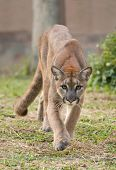 pic of cougar  - this is puma or cougar in zoo - JPG