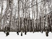 picture of birchwood  - snowy birch woods in cold winter day - JPG
